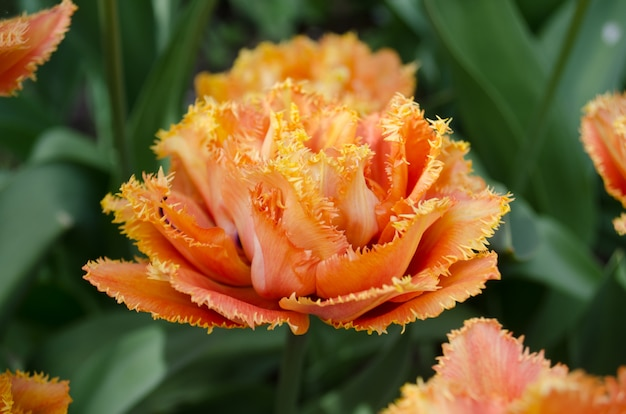 Tulipa de toque sensual. tulipa de pétala dupla laranja Foto Premium