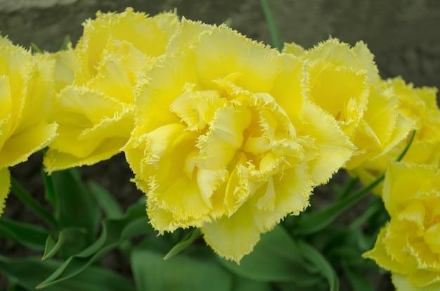 Tulipa exotic sun. tulipa amarela com franjas Foto Premium