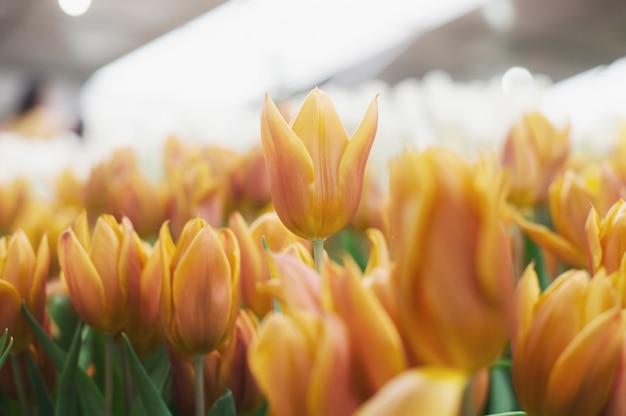 Tulipa laranja no jardim Foto Premium