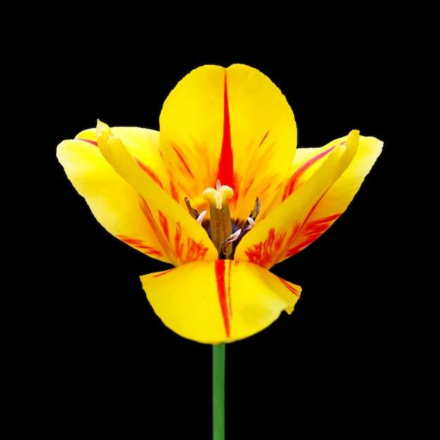 Tulipa motley isolado em um fundo preto Foto Premium