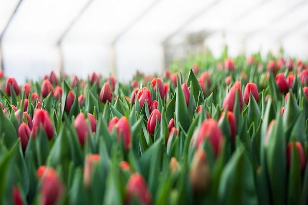 Tulipas cultivadas em estufa, flores naturais, plantas varietais Foto Premium