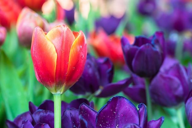 Tulipas vermelhas e roxas no jardim Foto Premium