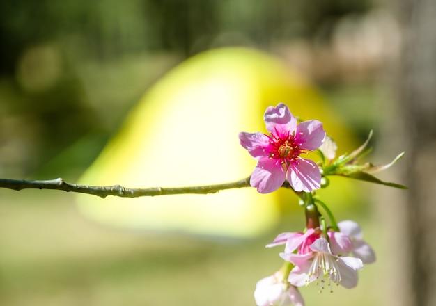 Turva de flor de cerasoides prunus com tenda amarela para fundo de campismo Foto Premium