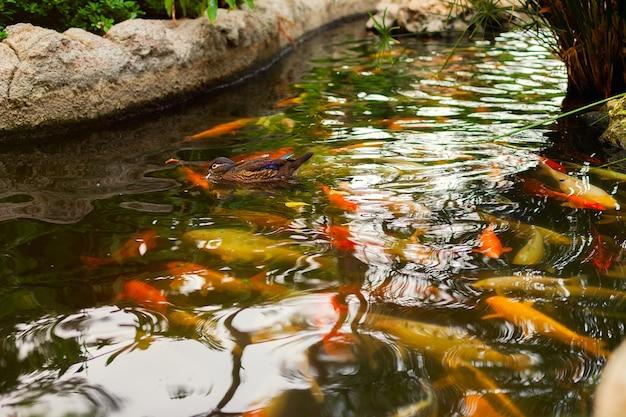 Um bando de peixes e um pato no lago. carpa japonesa decorativa da carpa. peixinho dourado em uma lagoa ou rio Foto Premium