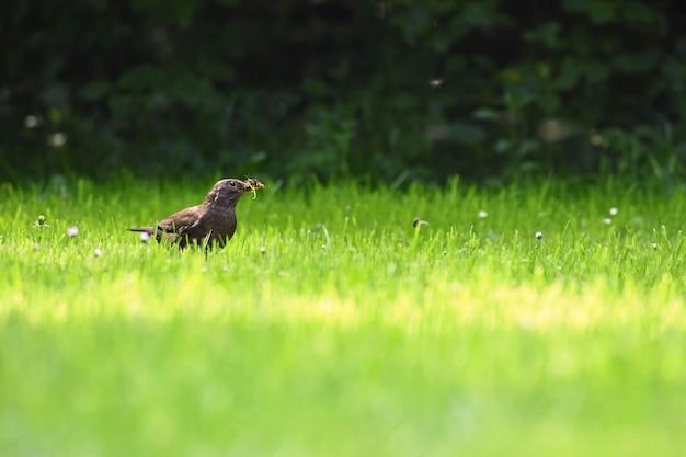 Um belo tiro de um pássaro na natureza. melro na grama que trava insetos. (turdus merula) Foto gratuita