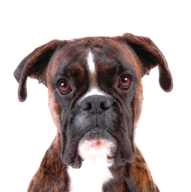 Um boxer bonito com um olhar doce no fundo branco Foto Premium