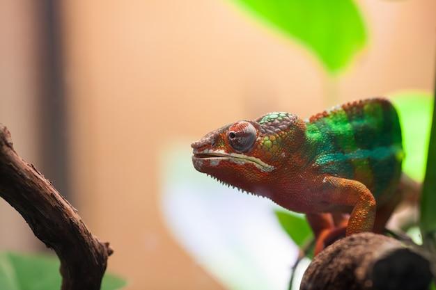 Um camaleão da pantera senta-se em um ramo. Foto Premium