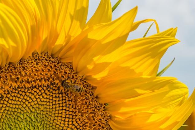 Um campo de fileiras uniformes de plantas de girassol, protegidas de pragas, ervas daninhas e doenças Foto Premium