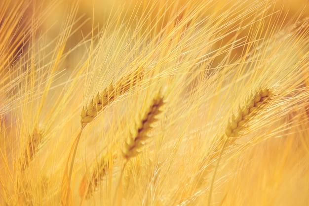 Um campo de trigo. foco seletivo. natureza. Foto Premium