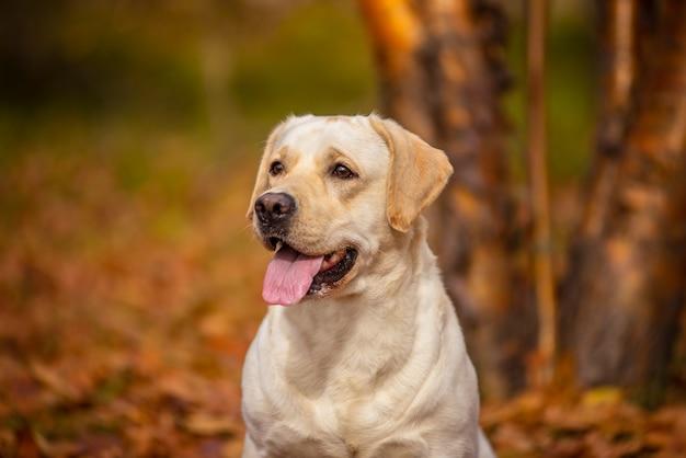 Um cão labrador corre na floresta de outono. Foto Premium