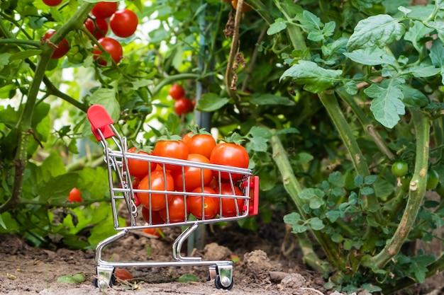 Um carrinho de supermercado pequeno com tomate cereja dentro em um fundo de arbustos de tomate Foto Premium