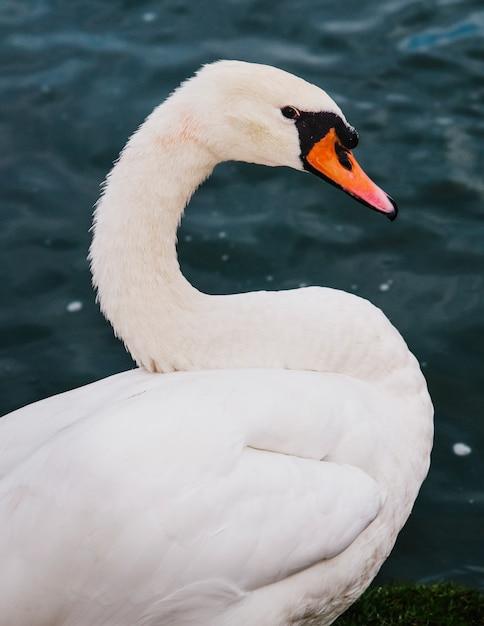 Um cisne no lago Foto gratuita