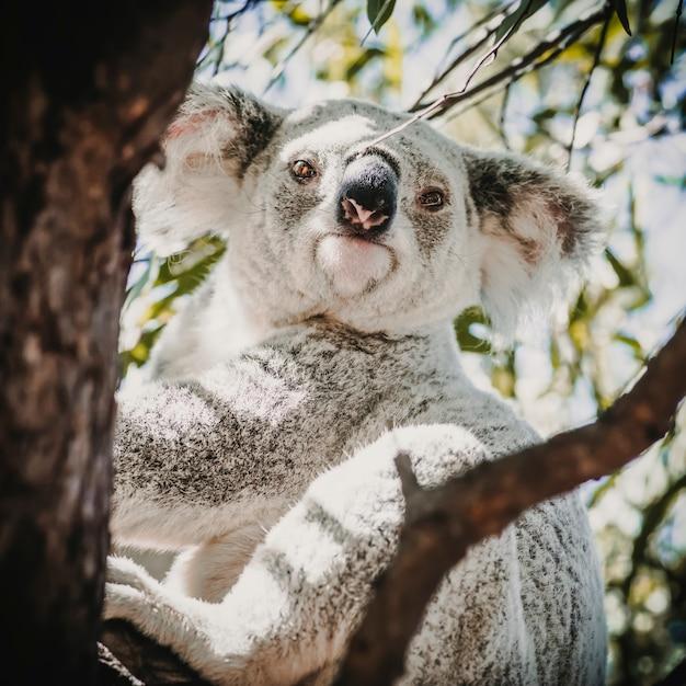 Um coala australiano adorável em seu habitat natural Foto Premium