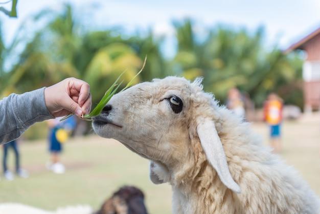 Resultado de imagem para cordeiros alimentando