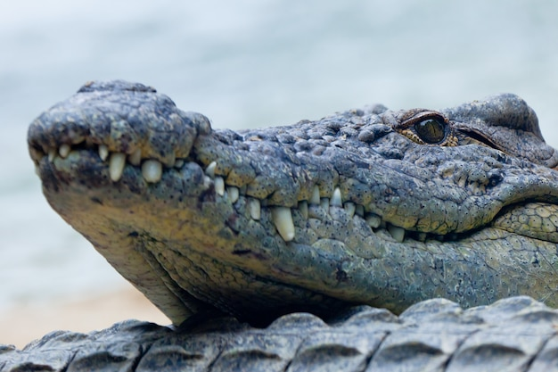 Um, crocodilo nilo, crocodylus, niloticus Foto Premium