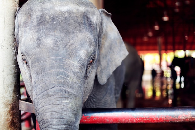 Um elefante grande bonito com olhos tristes ao sul do jardim zoológico. Foto Premium