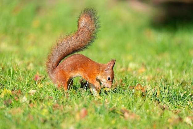 Um esquilo selvagem comendo no parque de grama verde Foto Premium