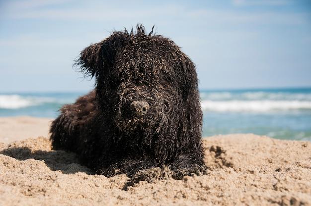 Um filhote de bouvier des flandres covred na areia depois de cavar na praia Foto Premium
