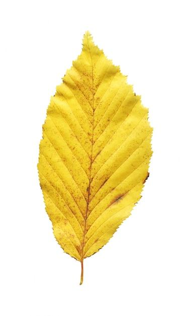 Um, folha amarela, elm, isolado Foto Premium