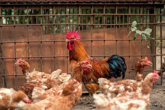 Um galo de uma bela cor brilhante e galinhas marrons caminham no galinheiro. Foto Premium