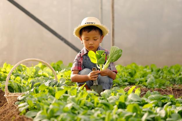Um garoto asiático está colhendo legumes de uma parcela em uma casa orgânica. Foto Premium