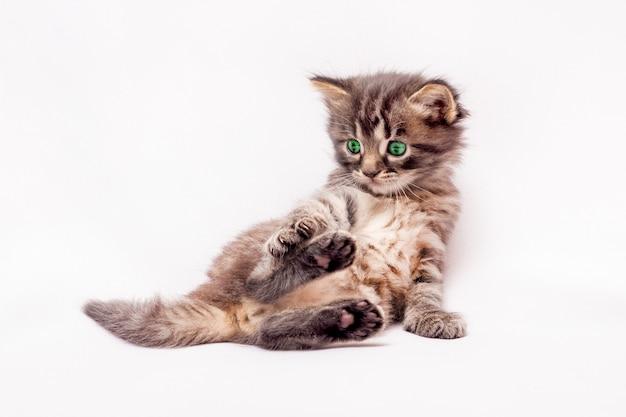 Um gatinho cinzento, de olhos verdes, encontra-se em uma pose engraçada Foto Premium