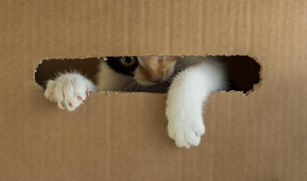 Um gatinho de três cores rói uma caixa de papelão. kitty colocou a pata fora da caixa. Foto Premium