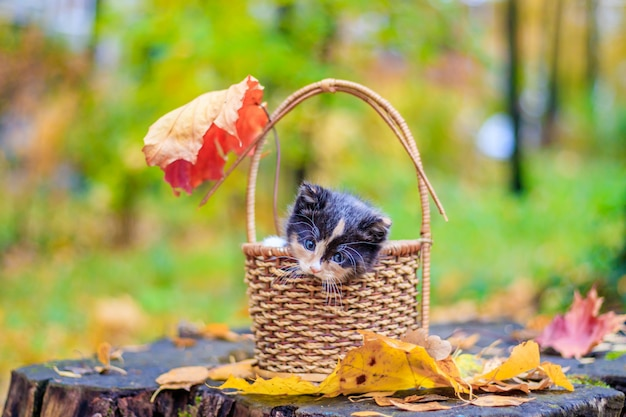 Um gatinho pequeno no caminho com folhas. gatinho em uma caminhada no outono. animal. Foto Premium
