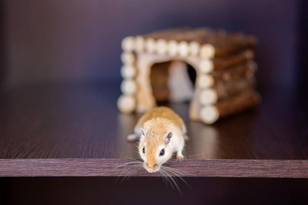 Um gerbil é executado em uma prateleira no contexto de uma casa de madeira. roedor de bigode vermelho com bigode longo Foto Premium
