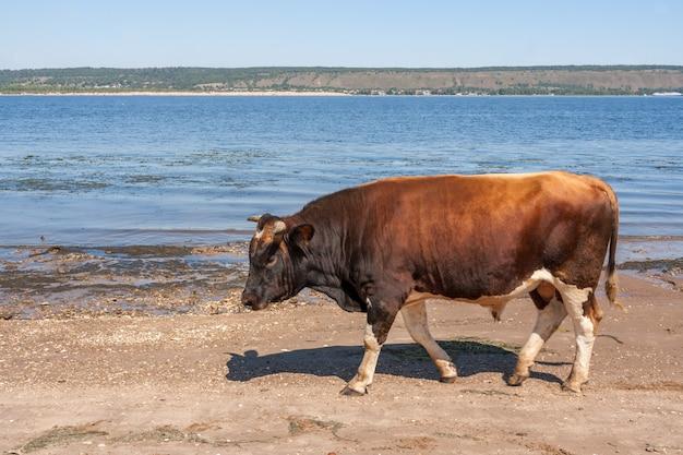 Um grande touro marrom está indo na margem do rio. Foto Premium