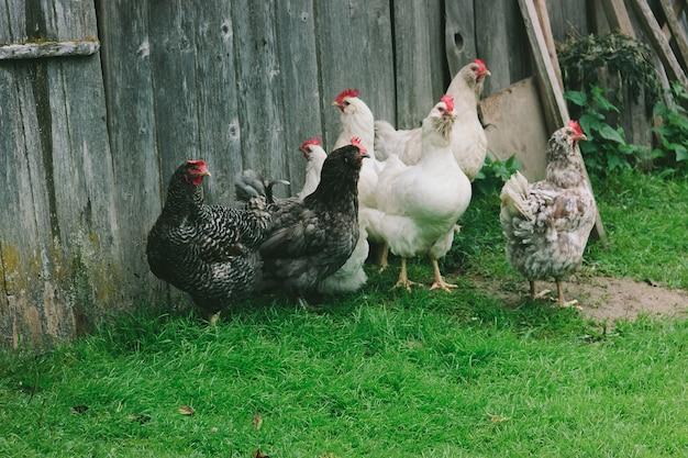 Um grupo de galinhas domésticas multi-coloridas fica perto de uma parede de madeira na grama verde em uma vila em uma fazenda. lugar para texto Foto Premium