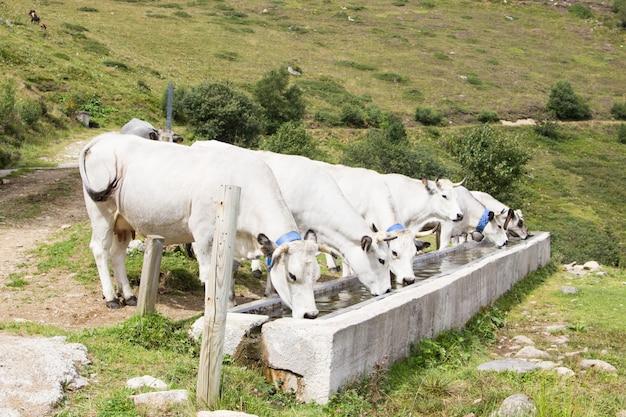 Um grupo de vacas brancas bebendo água em um bebedouro nas montanhas Foto Premium