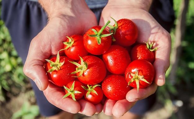 Um homem está segurando tomates caseiros em suas mãos. foco seletivo. Foto Premium