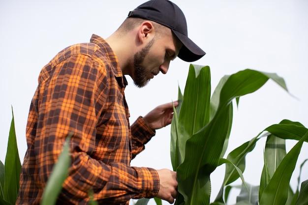Um jovem agrônomo inspeciona os caules e as folhas do milho verde. Foto Premium