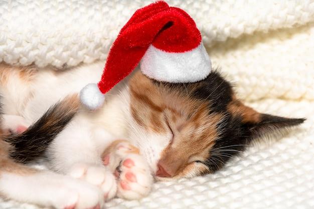 Um jovem e charmoso gato tricolor com um boné vermelho está dormindo sobre um cobertor. fechar-se. conceito de cuidado, educação, treinamento e criação de animais Foto Premium