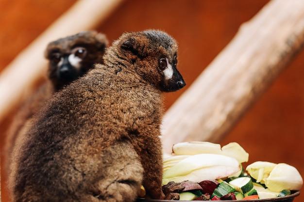 Um lêmure de cauda anelada está comendo uma fruta enquanto está sentado em um tronco Foto Premium