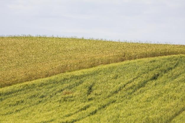 Um lindo campo de trigo hipnotizante em meio à vegetação sob um céu nublado Foto gratuita