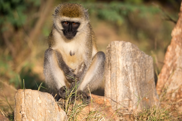 Um macaco senta e olha em volta Foto Premium