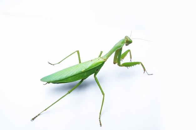 Um mantis feminino em branco Foto Premium