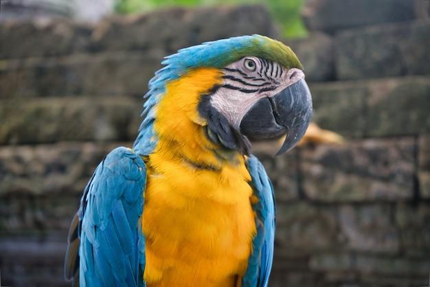 Um papagaio arara azul e amarelo no zoológico tailandês Foto Premium