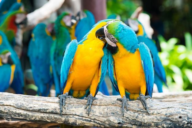 Um par de araras azul-e-amarelas que empoleiram-se no ramo de madeira na selva. pássaros coloridos da arara na floresta. Foto Premium