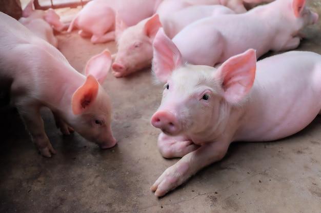 Um pequeno leitão na fazenda. grupo de mamíferos espera alimentar Foto Premium
