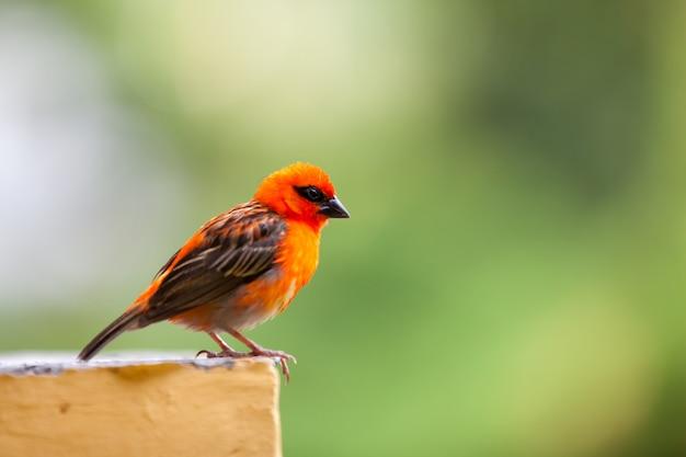 Um pequeno pássaro local vermelho nas seychelles Foto Premium