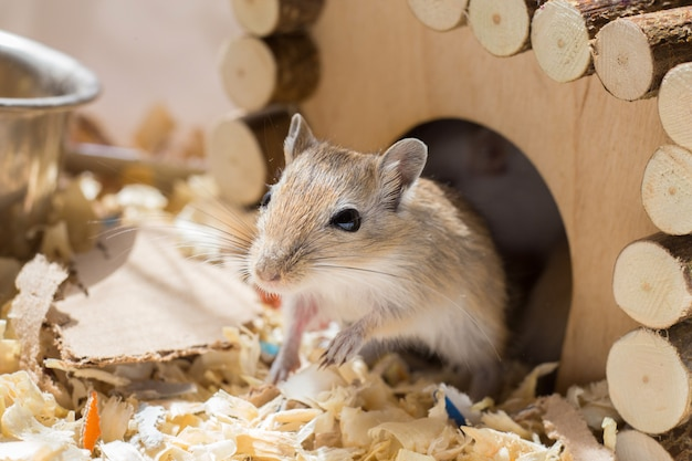 Um pequeno roedor doméstico de gerbil espreita para fora de sua casa de madeira em uma gaiola de serragem Foto Premium