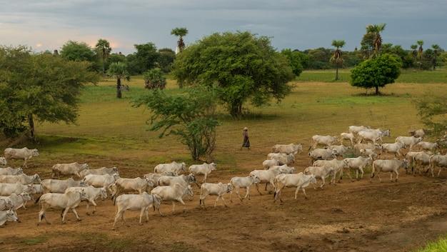 Um pôr do sol tranquilo e descontraído com um rebanho de gado zebu em myanmar Foto gratuita
