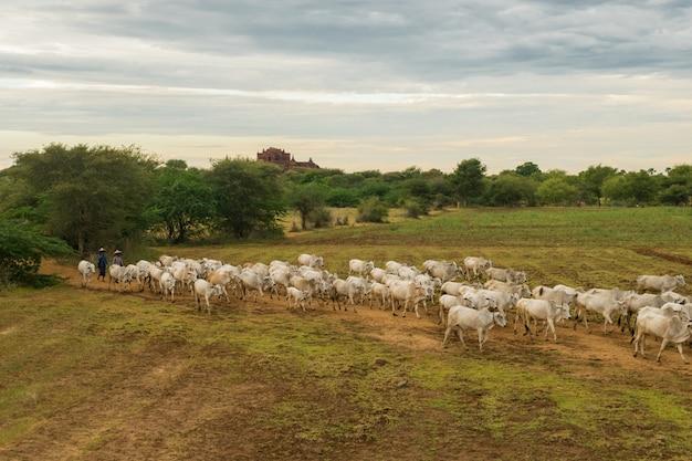 Um pôr do sol tranquilo e descontraído com um rebanho de gado zebu mianmar Foto gratuita