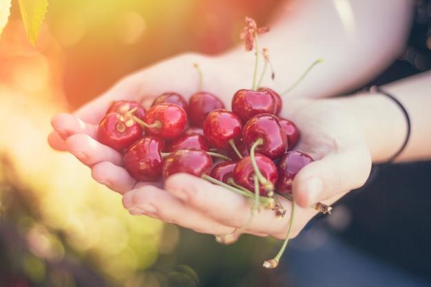 Um punhado de cerejas maduras nas mãos Foto Premium
