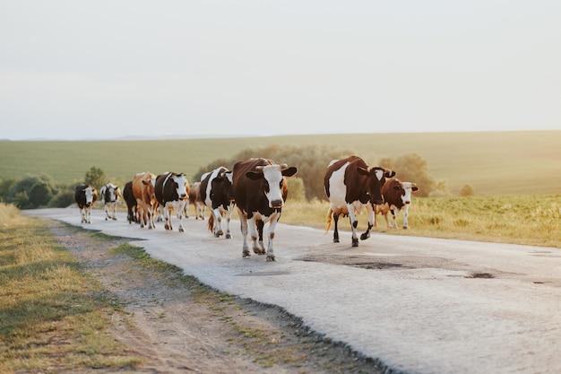 Um rebanho de vacas, enquanto eles estão relaxando em um estábulo. Foto Premium