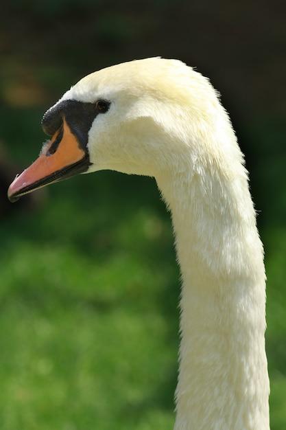 Um retrato de cisne bonito Foto Premium