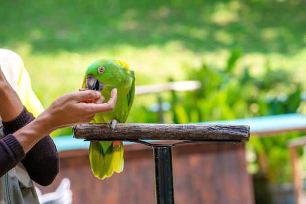 Um show com pássaros em um parque de pássaros. um treinador com papagaios. Foto Premium